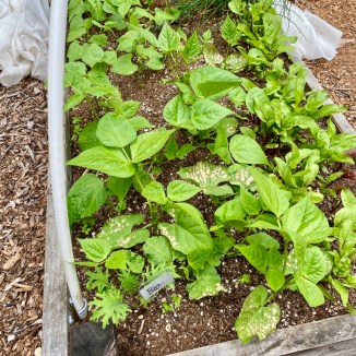 Bush Beans Planted in early August