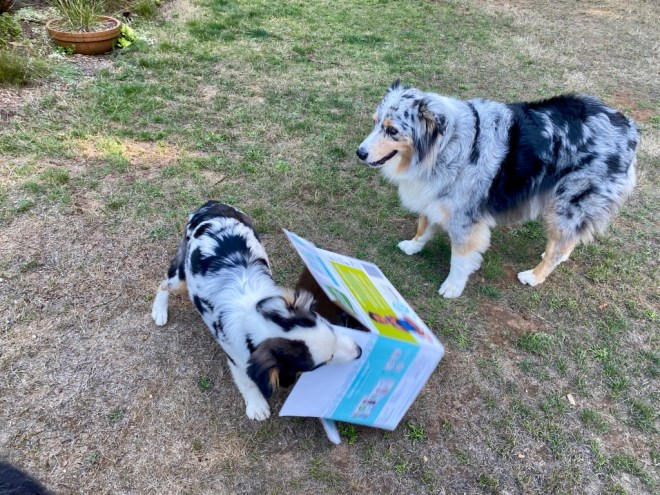 Shanna at 5 months finds boxes endlessly entertaining as Quinn looks on