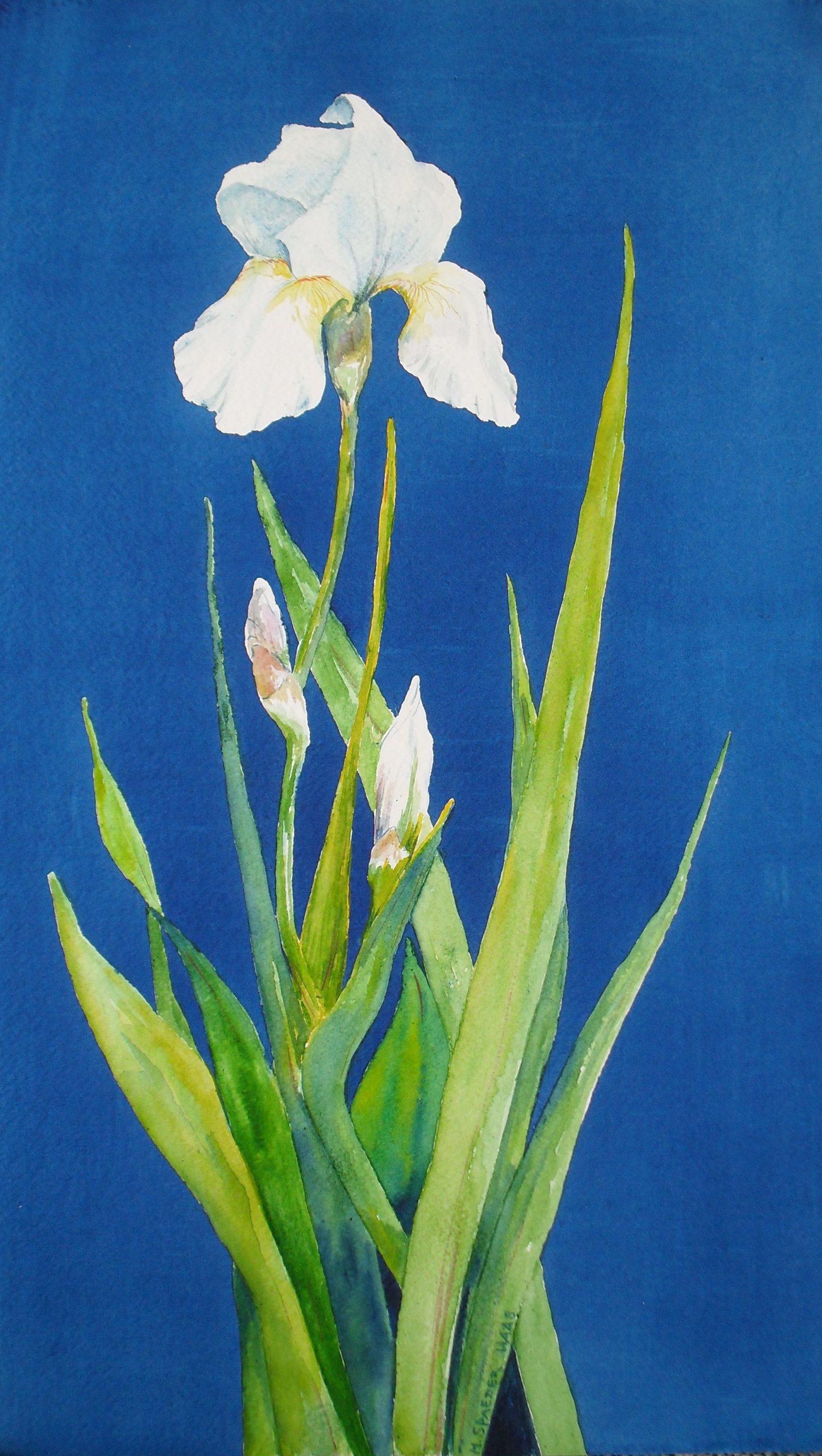 whie iris on blue background