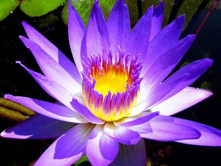 Water Lilies Can You Resist Such Spectacular Colourful