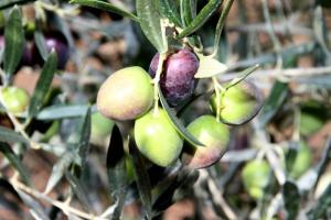 About our Extra Virgin Olive Oils