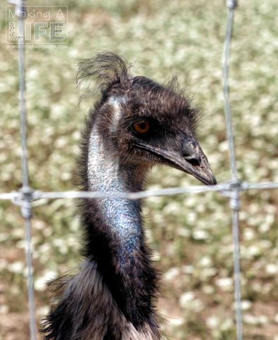 Ostrich Safari Niagara
