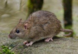 șobolan