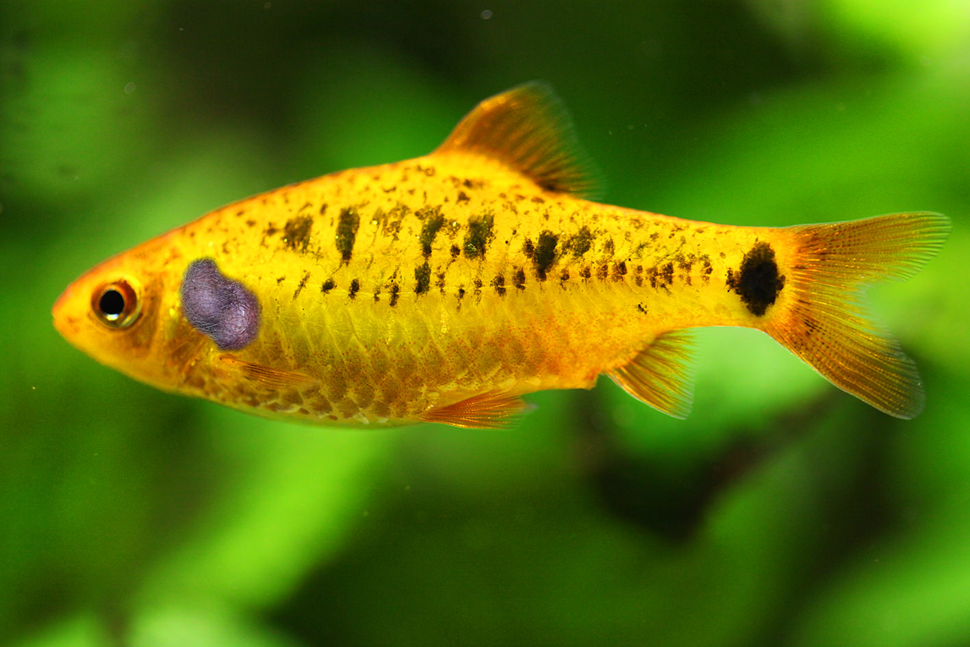ball-fish