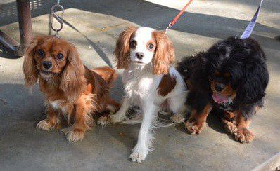 Cavalier King Charles Spaniel Colors
