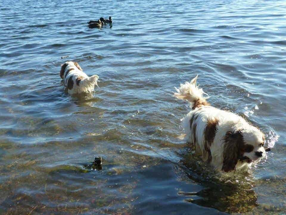 cavalier king charles spaniel swimming in a lake