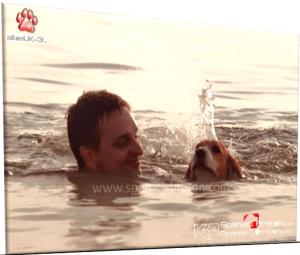 Spaniels Bretón Nadando