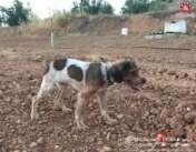 Cachorro Trufero DeAbelK3