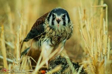cernícalo-americano,2-halconcito-colorado-o-cuyaya-(Falco-sparverius)-epagneul-breton-DeAbelK311tt10