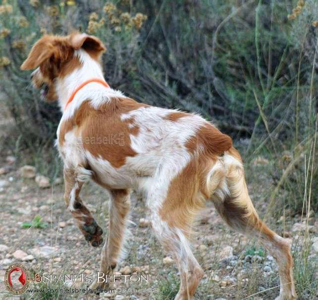 NicoDeAbelK3-Spaniels-Breton-15