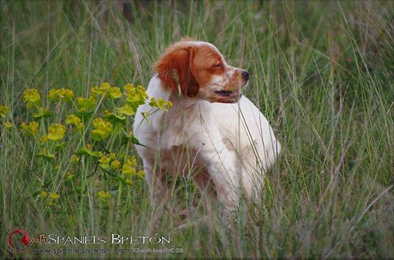DeAbelK3-BRETON-cachorro-blanco-intenso-1a