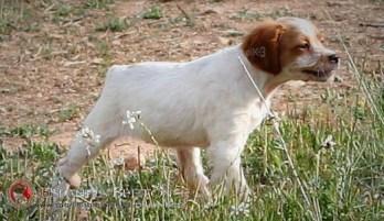DeAbelK3-BRETON-cachorro-blanco-intenso-4d