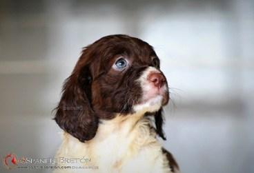 cachorro-breton-spaniel-marron-DeAbelK3-Epagneul-2