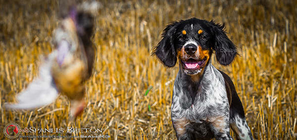 DeAbelK3-Brayan-breton-spaniel-tricolor-cachorro-epagneul-IMG_0902IMG_0938