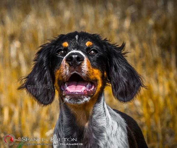 DeAbelK3-Brayan-breton-spaniel-tricolor-cachorro-epagneul-IMG_0902IMG_0942