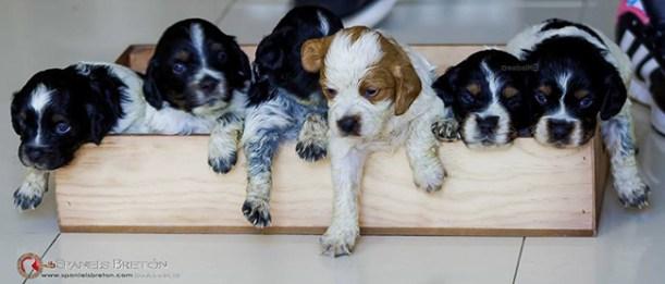 cachorros-DeAbelK3-bretones-spaniel-hijos de letty-1a