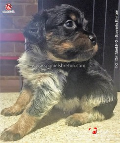eki-breton-tricolor-cachorro-DeAbelK3-spanielsbreton.com