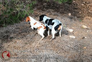 linda y titaDeABELK3 Spaniels-Breton