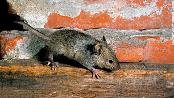 New York mice are carriers of new viruses and superbugs