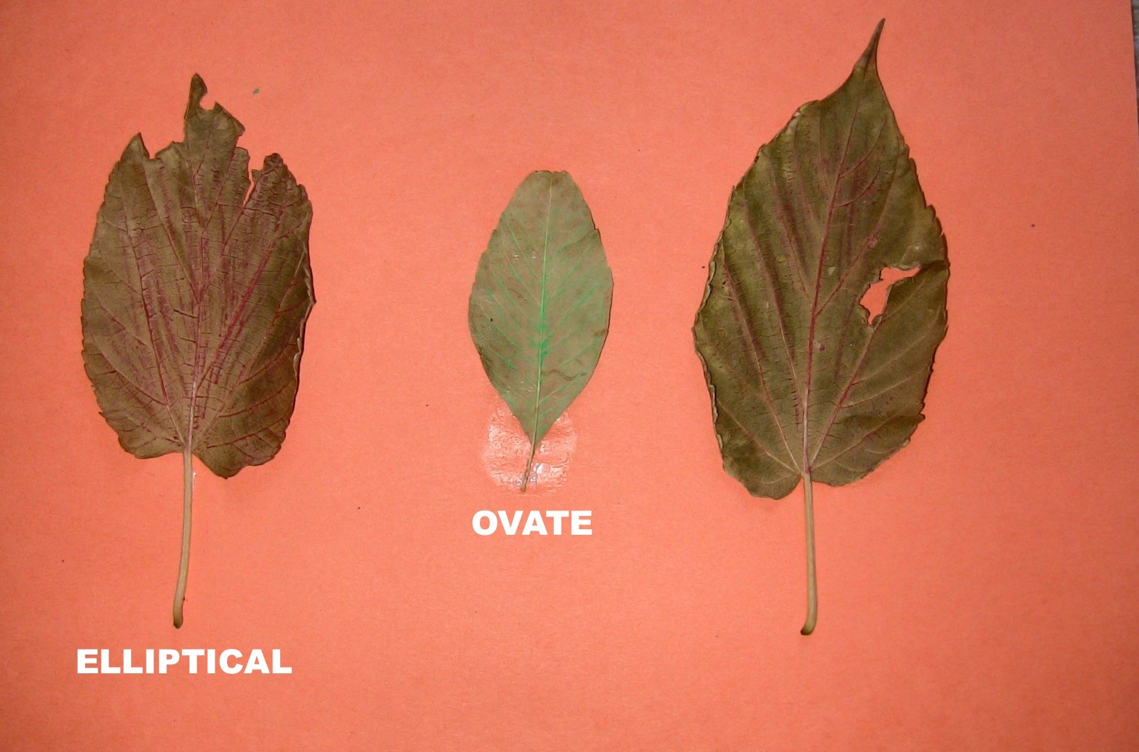 Identify Leaves By Shapes Spanish4kiddos Educational