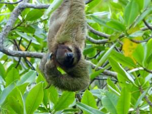 Three toed sloth hanging upsidedown