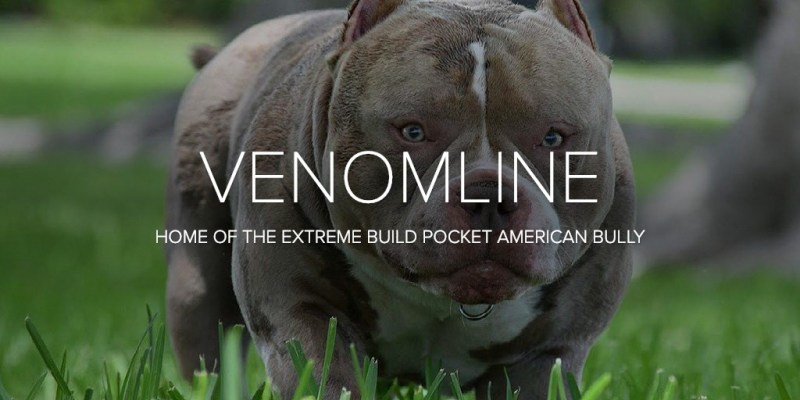Venomline | Top Pocket American Bully Bloodline