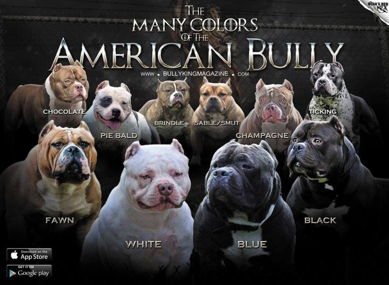 Top American Pocket Bully Breeders | Extreme Pocket Bully Kennels