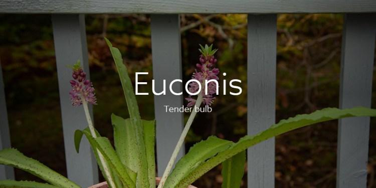 Euconis