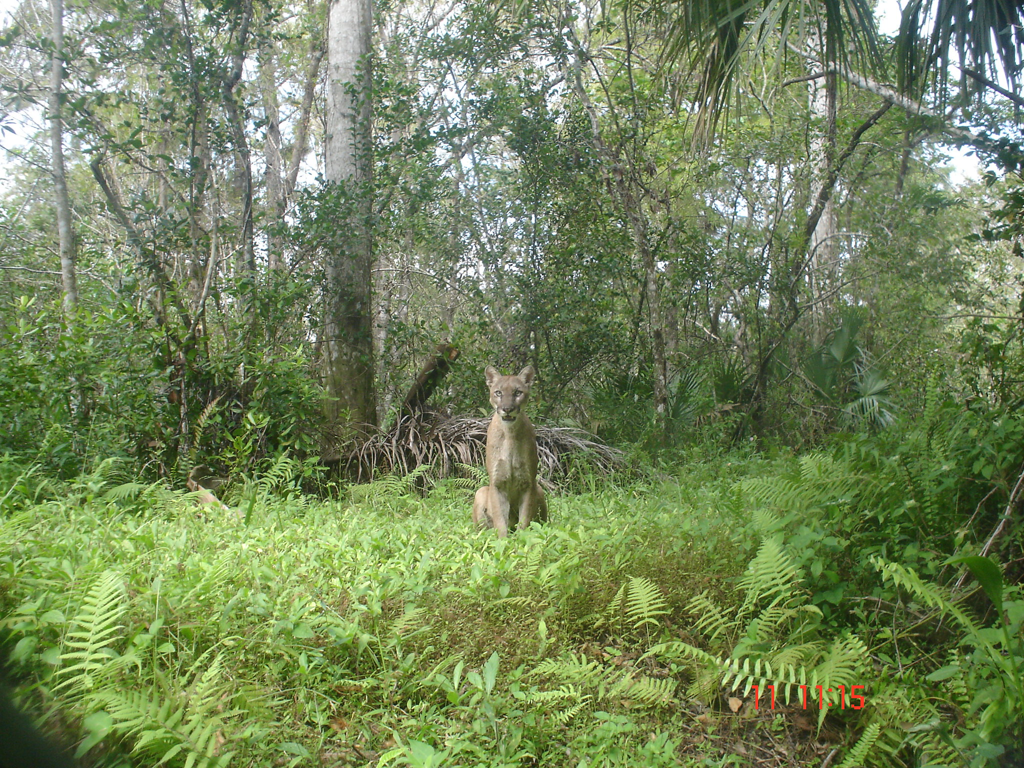 A photo of an adult male Florida Panther in Fakahatchee Strand Preserve State Park, 2006. Credit: David Shindle for the Conservancy of Southwest Florida Learn more about the Florida panther at www.fws.gov/southeast/wildlife/mammal/florida-panther/