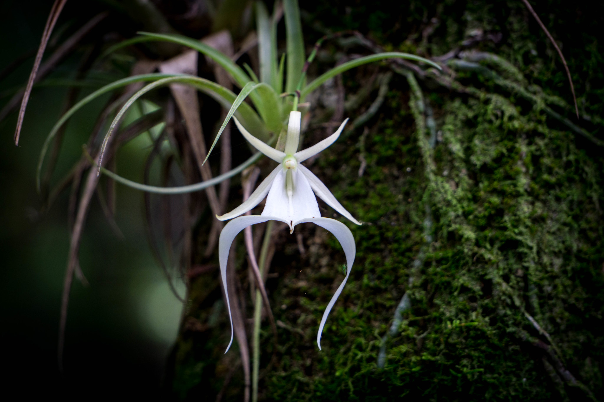 A ghost orchid. Photo courtesy Big Cypress National Preserve. https://flic.kr/p/PP3kpL