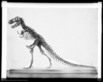 """This image from a 1927 glass slide illustrates Chip's idea that the skeleton is also a silhouette, both hiding and revealing. Unknown (photographer), """"Tyrannosaurus rex. left side, January, 1927,"""" AMNH Research Library 