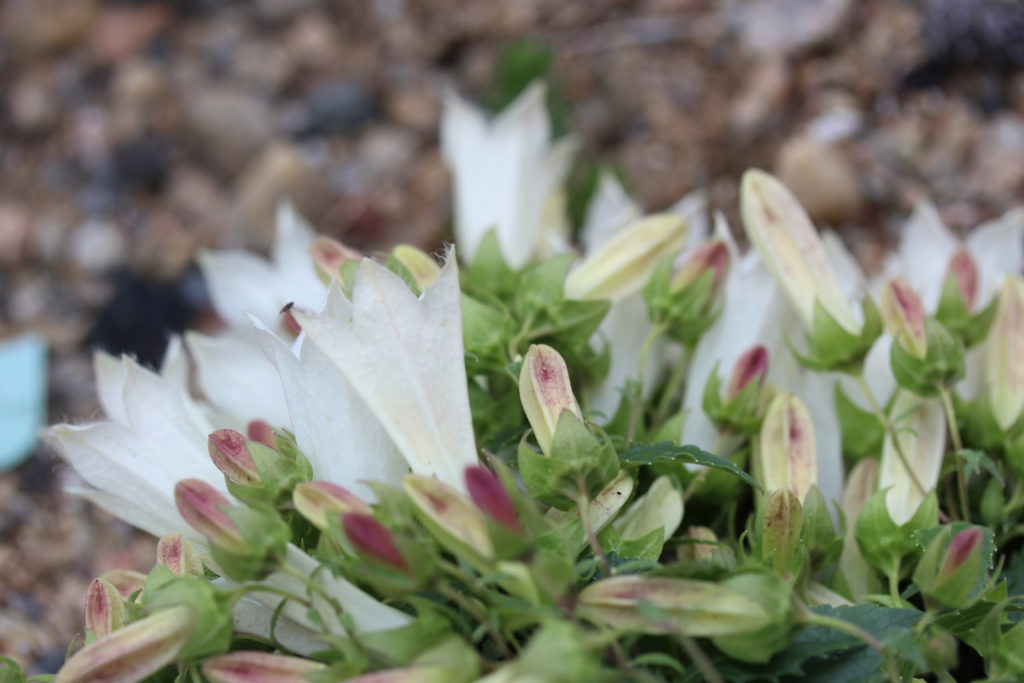 This image has an empty alt attribute; its file name is Campanula_betulifolia-ML_0620-43-1024x683.jpg
