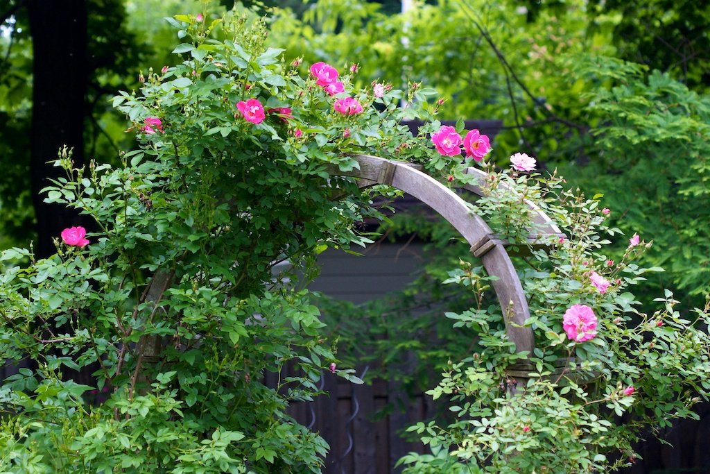Rose on the arch a week ago