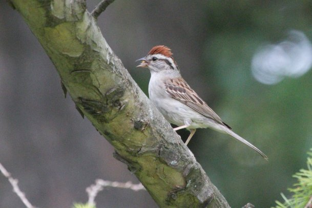 Chipping Sparrow with raised crest - unusual thing to see