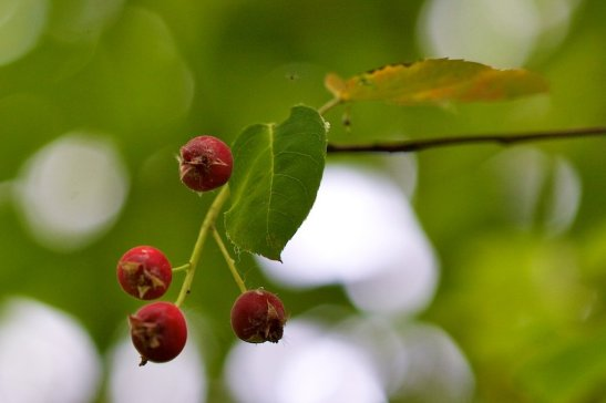 Amelanchier canadensis berries - much loved by birds