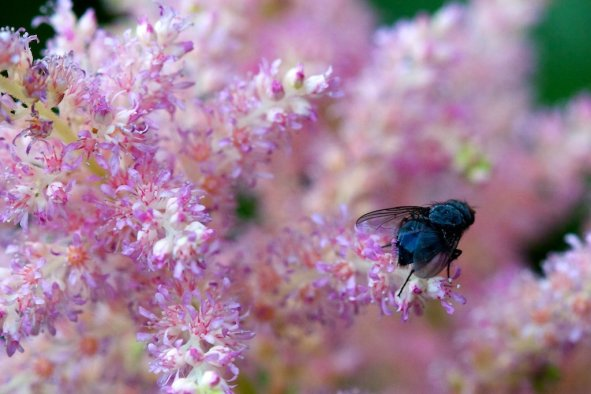 Astilbe and fly