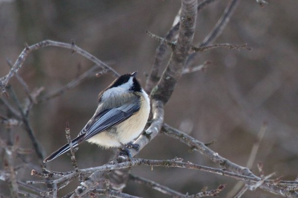 The ubiquitous Black-capped Chickadee