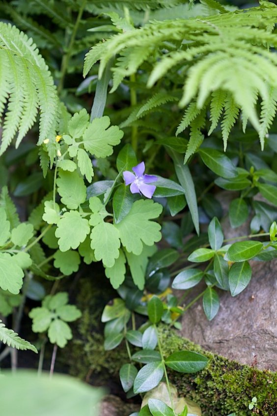 Wild violet near the waterfall