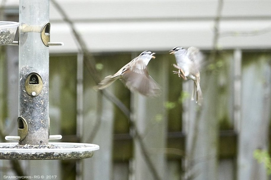 Fighting White-crowned Sparrows