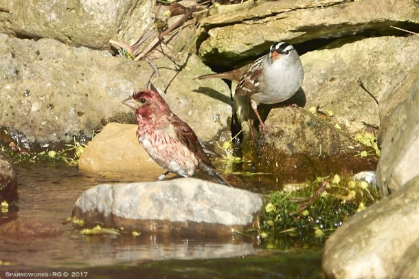 Purple Finch and White-crowned Sparrow