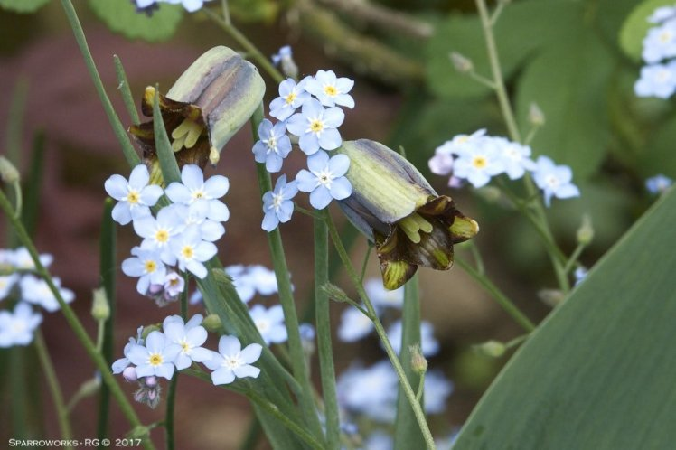 Fritillaries and forget-me nots