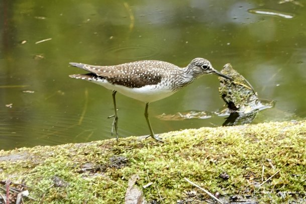 Solitary Sandpiper found in the Quarry and seen from the Scout Hut