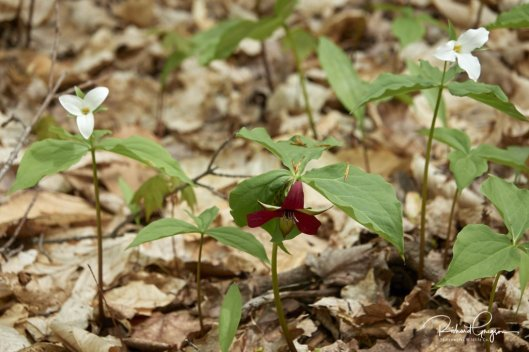 Red and White Trilliums