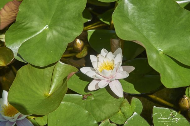 One of seven water lilies in flower together