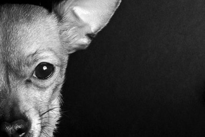 Chihuahua-bw-med