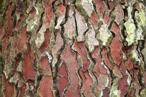 Bark of Pinus pinaster https://en.wikipedia.org/wiki/Pinus_pinaster#/media/File:Pinus_pinaster_JPG2.jpg