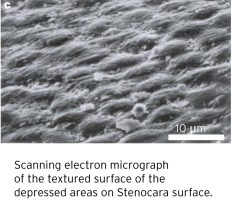 Scanning electron micrograph of the textured surface of the depr