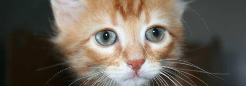 Ginger kitten close up shot looking sad