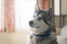 Curious husky dog indoors wearing collar and id