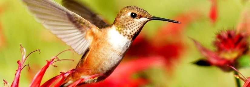 Wild hummingbird flying around red flowers